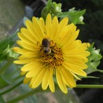 Bee on cup plant