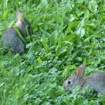 Two Bunnies Eating