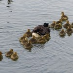 Goslings and adult