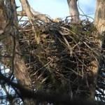 Eagle On Nest