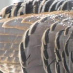 Feathers Up close