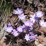 Hepatica Clump