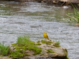 Yellow Warbler at Creek
