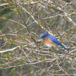 Bludbird