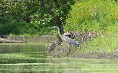 Reflections on Heron Rookeries