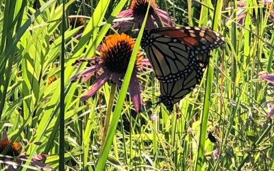 Monarchs On Their Way South