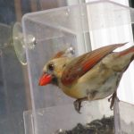 Female Cardinal on window feeder.