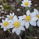 Comparison of Bloodroot to Star of Bethlehem