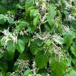 Are You in a Knot Over Japanese Knotweed?