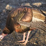 Male turkey