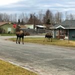 Mother moose and baby stroll down a suburban road.