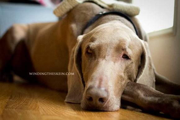 winding the skein.com , knitting, milo, weimaraner dog