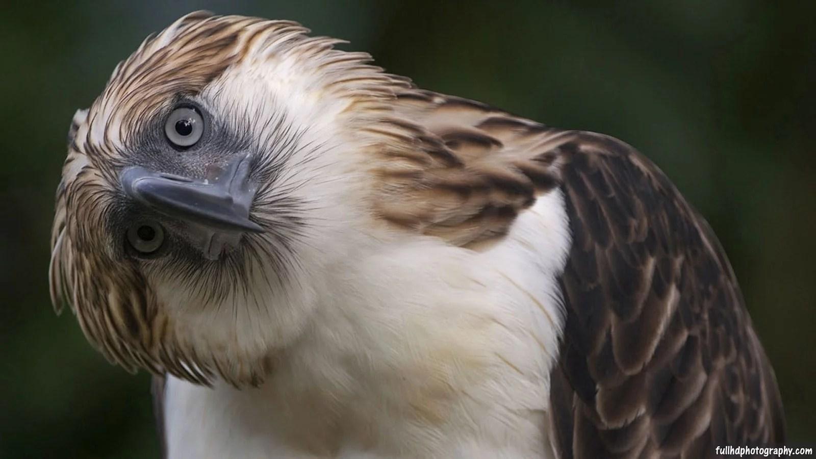funny-philippine-eagle