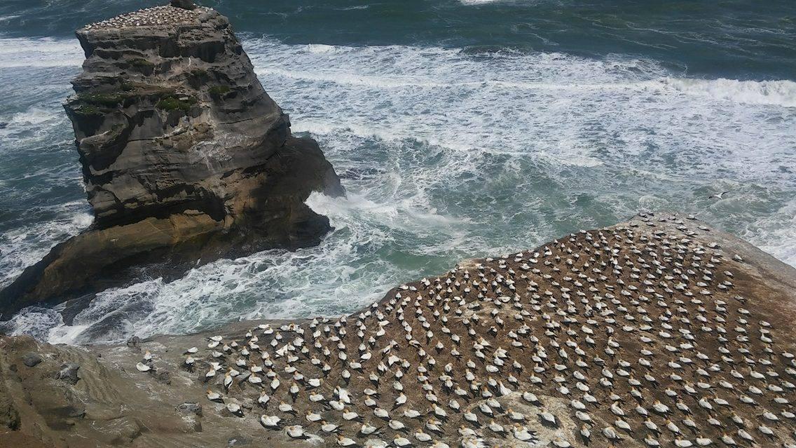 gannet-colony-tommy-walker