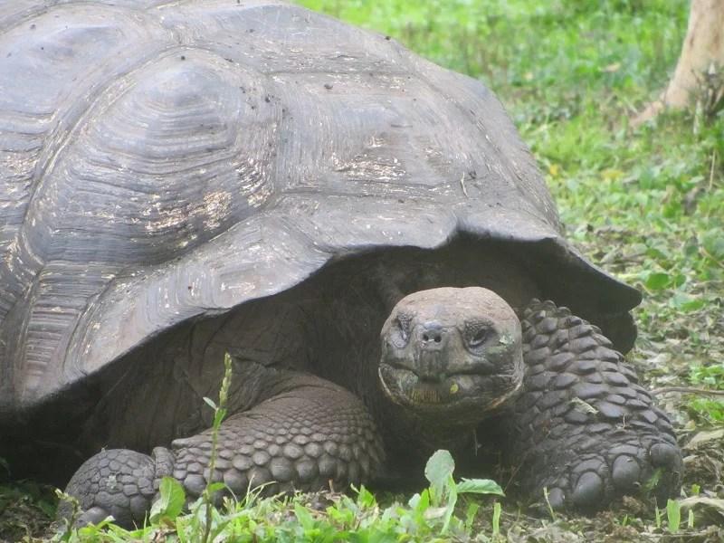 giant-tortoises