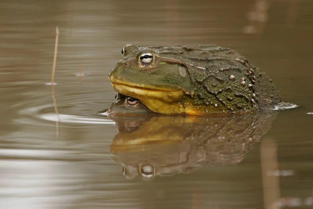 deadly_bullfrog