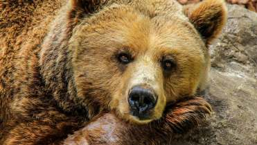 Bear hibernating featured