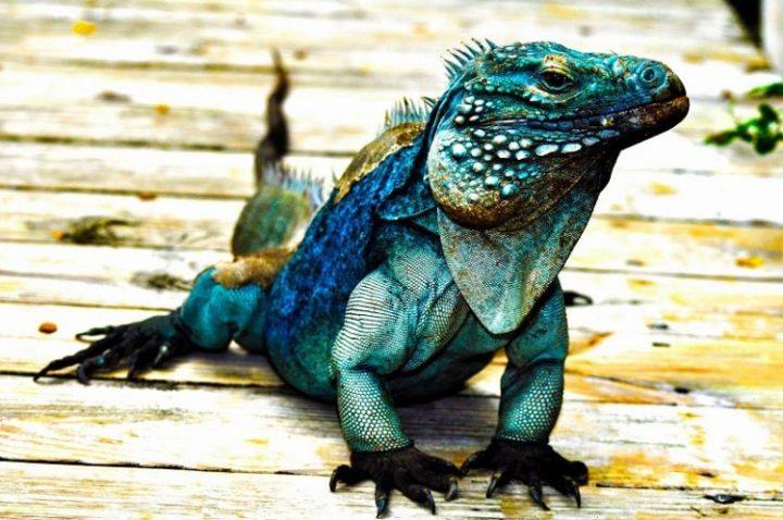 penyebaran iguana biru yang cukup merata di dataran amerika terutama jenis iguana biru yang terancam punah
