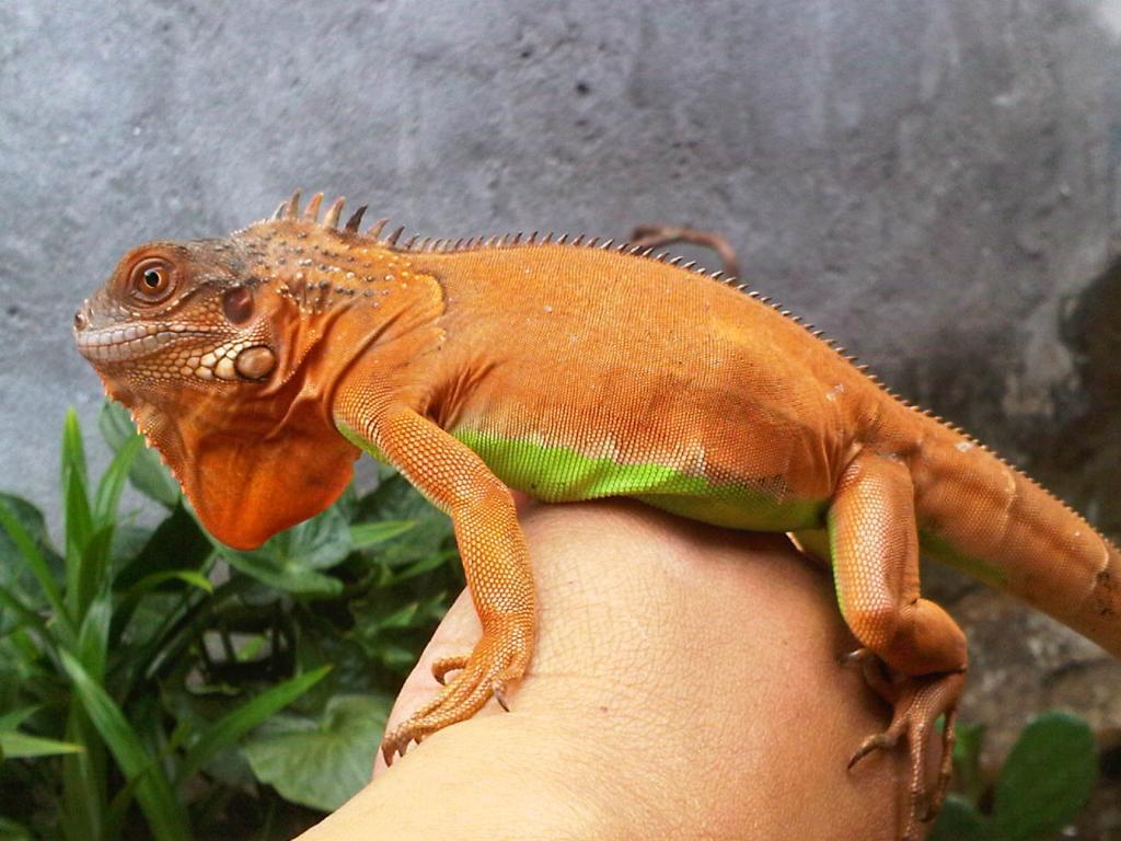 jenis red iguana mempunyai berbagai macam. Sangat mudah dalam perawatannya