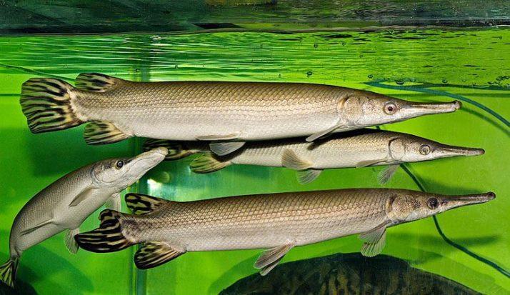 jenis ikan aligator dengan ekor yang bercorak ini dinamakan Cuban gar