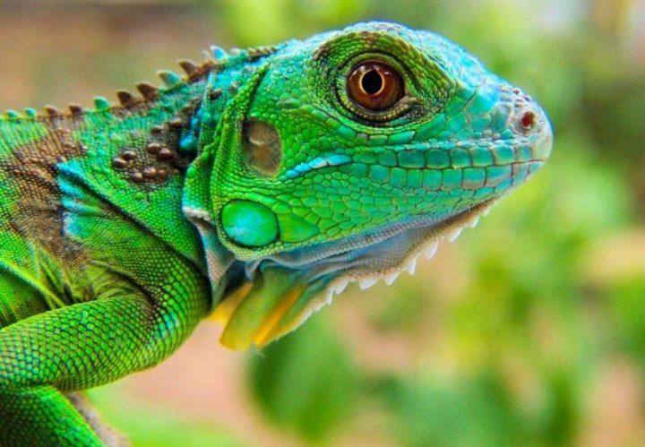 jenis iguana blue diamond yang indah dengan perawatan yang mudah