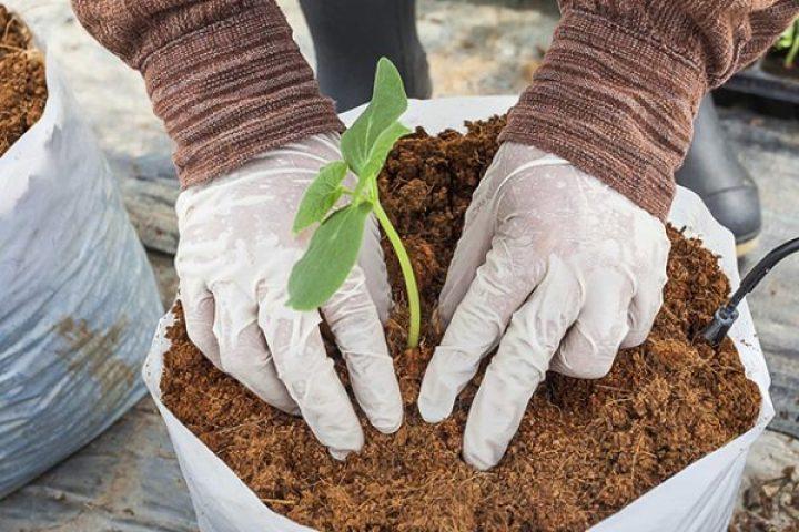 memanfaatkan cocopeat sebagai media tanam dapat mempersubur tanaman pot