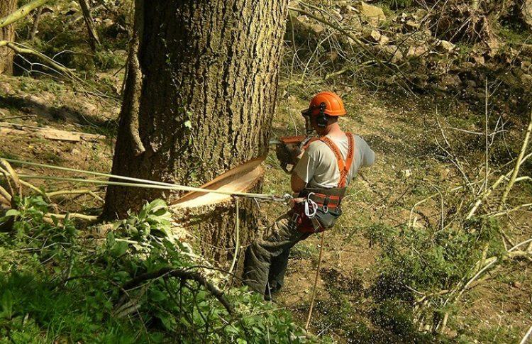 profesi penebang kayu yang mencengangkan