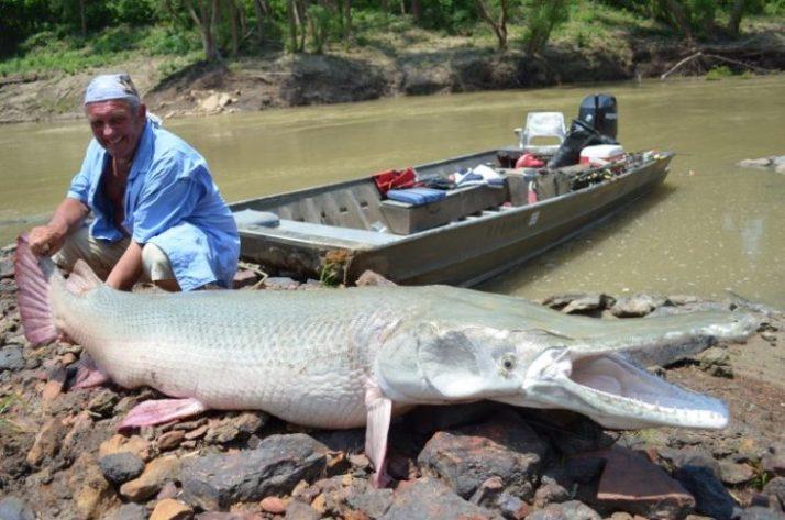 nelayan mendapatkan ikan aligator gar