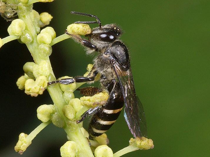 jenis lebah Apis andreniformis lebah yang bermanfaat bagi manusia