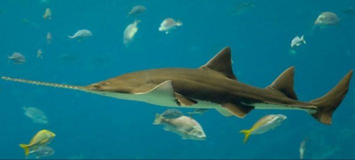 ikan hiu gergaji