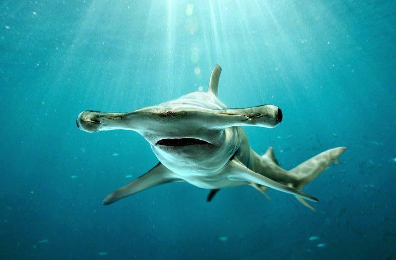 ikan hiu martil unik