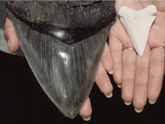 taring gigi hiu megalodon