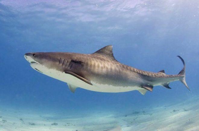 hiu macan predator