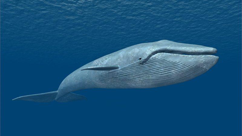 ikan paus biru