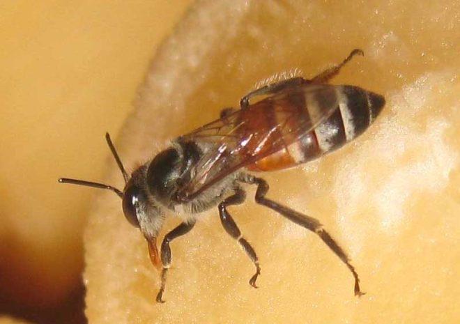 Jenis lebah madu kerdil atau sering juga disebut dengan apis florea