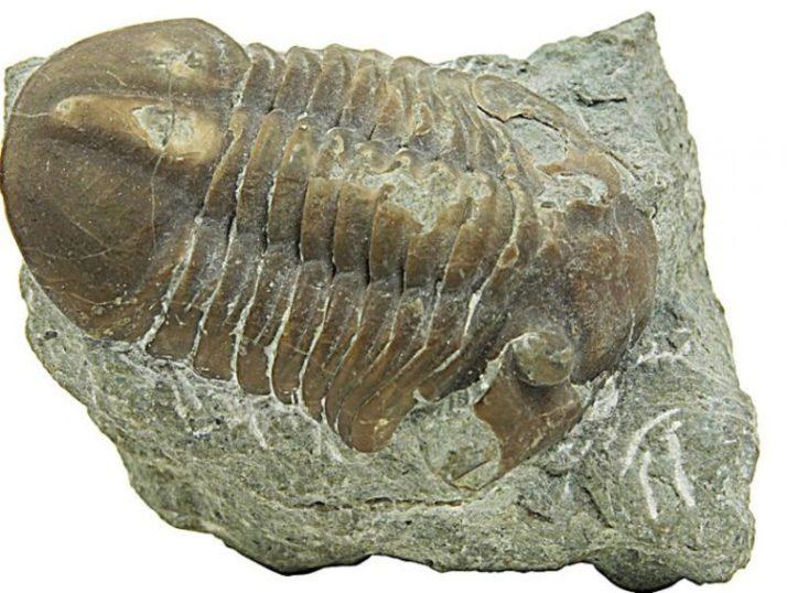 Batuan Sedimen Organik dari kerang