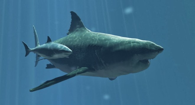 perbandingan hiu megalodon dengan hiu putih