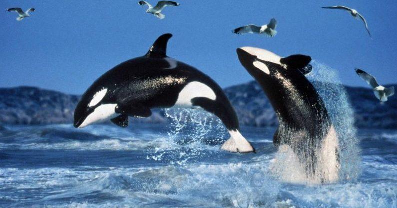 ikan paus orca yang lucu
