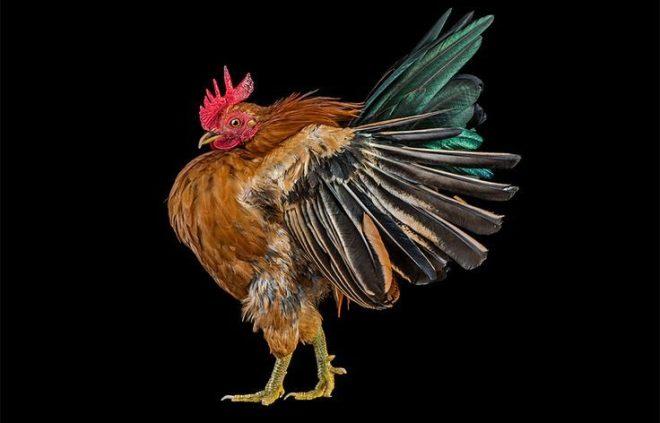 ayam terbang