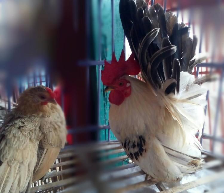 jenis Ayam Kate Betindo