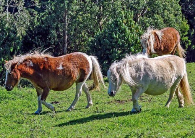 kuda cacingan