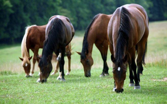 kuda memakan rerumputan