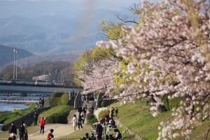 Kyoto: Kamogawa sakura