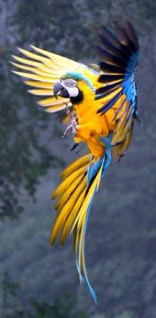122415 blue and gold macaw