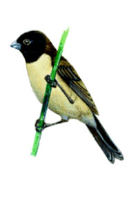 Hooded Seedeater