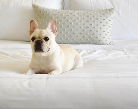 French bulldog laying on a bed at Windsor Court Hotel enjoying the hotel's Pampered Pets Program