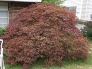 Japanese maple over twenty years old.