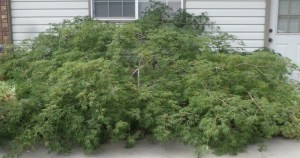 Japanese maple around 18 years old.