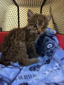 baby bobcat being rehabbed