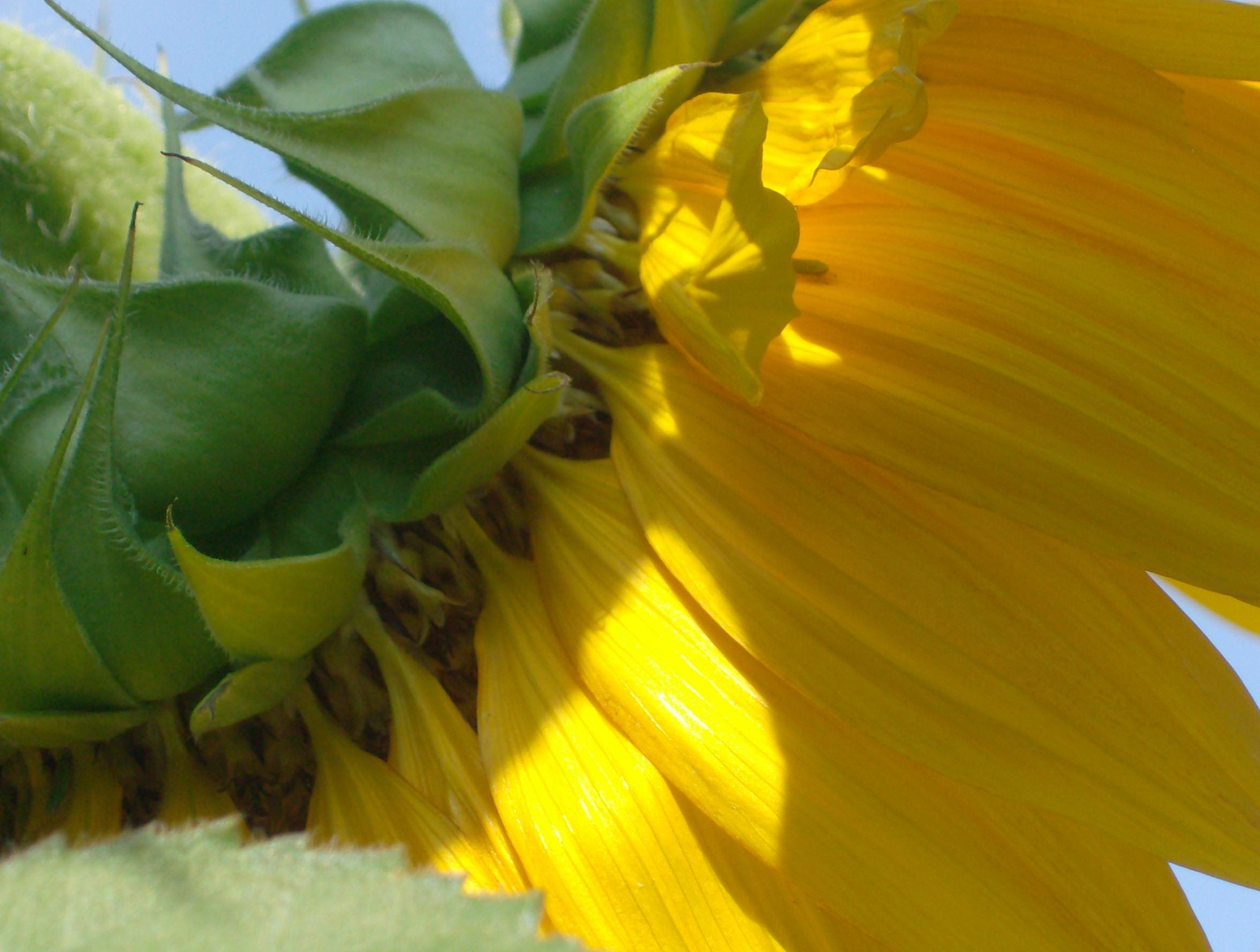 floarea soarelui 020